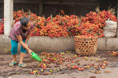 Rambutan producer. BALI - JANUARY 24. Rambutan producers selecting fruit for whole in Bali on January 24, 2012 in Bali, Indonesia. Indonesia is one of the few Stock Image