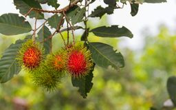 Rambutan scientific name: Nephelium lappaceum Linn. Fruits on the tree in the garden ready to harvest Royalty Free Stock Photography
