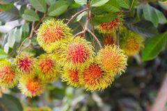 Rambutan scientific name: Nephelium lappaceum Linn. Fruits on the tree in the garden Thailand Royalty Free Stock Photo