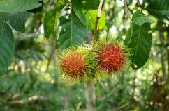 Rambutan sull'albero Fotografia Stock