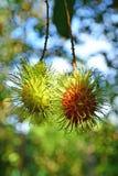 Rambutan sull'albero, frutta tropicale in Tailandia Fotografia Stock