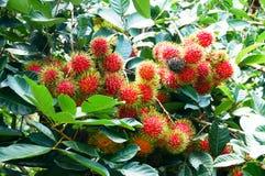 Rambutan sull'albero in frutteto Fotografia Stock Libera da Diritti