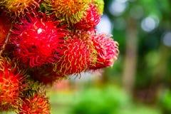 Rambutan from Thailand Stock Photo