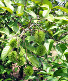 Rambutan tree Royalty Free Stock Image
