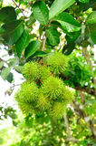Rambutan tree. In farm show agriculture concept Royalty Free Stock Photos