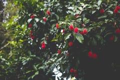 Rambutan tree. A bunch of rambutan fruits atop its tree Royalty Free Stock Photo