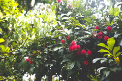 Rambutan tree. A bunch of rambutan fruits atop its tree Stock Photo