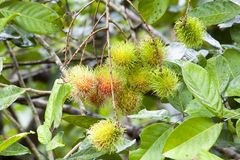 Rambutan on tree Royalty Free Stock Images