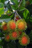 Rambutan on tree Royalty Free Stock Photo