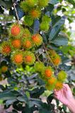 Rambutan on tree Royalty Free Stock Image