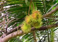 Rambutan on tree. Fruit thai Royalty Free Stock Photo
