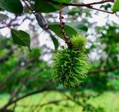 Rambutan on tree Stock Photos