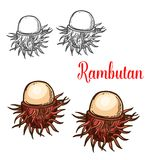 Rambutan tropical fruit sketch of asian berry. Rambutan tropical fruit isolated sketch of exotic asian berry. Ripe peeled rambutan with red pliable spines for stock illustration
