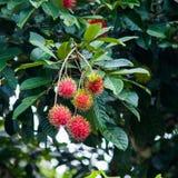 Rambutan a Tropical Fruit. Rambutan Tree a Tropical Fruit Stock Photography