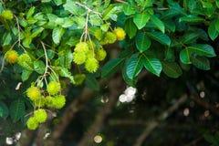 Rambutan una frutta tropicale fotografie stock libere da diritti