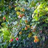 Rambutan una frutta tropicale immagine stock