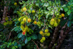 Rambutan una frutta tropicale fotografia stock