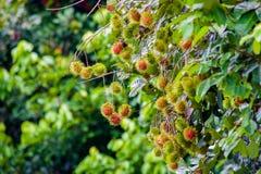 Rambutan una frutta tropicale immagini stock libere da diritti