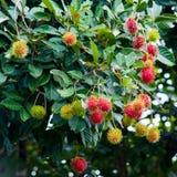 Rambutan una frutta tropicale fotografia stock libera da diritti