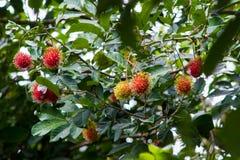 Rambutan una frutta tropicale immagini stock