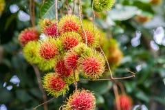 Rambutan una frutta tropicale immagine stock libera da diritti