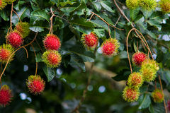 Rambutan una frutta tropicale fotografie stock