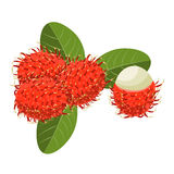 Rambutan vector illustration on white background. royalty free stock photography