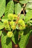 Rambutan verde Immagini Stock