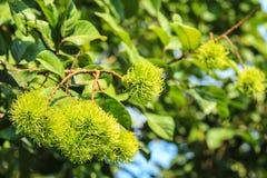 Rambutan verde fotografia stock libera da diritti
