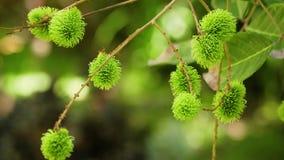 Rambutan verde na árvore filme