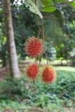 Rambutan vermelho no ramo de árvore Imagem de Stock Royalty Free
