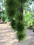 Rambutanfruchtwachsen auf Baum lizenzfreies stockfoto