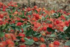 Rambutans rojos en la tierra Fotografía de archivo libre de regalías