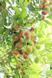 Rambutans on trees. Ripening clutch of rambutans high up grow in its tree at Thailand Stock Images