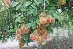 Rambutans vermelhos no ramo de árvore Foto de Stock Royalty Free