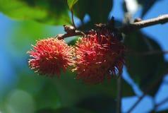 Rambutnya et arbre Photo libre de droits