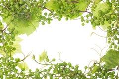 ramdruvor green surt unripe Royaltyfria Bilder