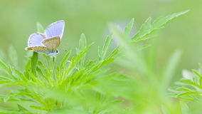 Rame-farfalla della farfalla Fotografia Stock