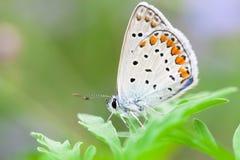 Rame-farfalla della farfalla Fotografie Stock