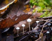 Ramealis de Marasmius, petits champignons blancs sur une brindille dans les bois parmi les feuilles tombées Images libres de droits