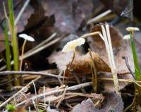 Ramealis del Marasmius, pequeñas setas blancas en una ramita en el bosque entre las hojas caidas Foto de archivo