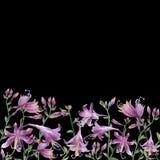 Ramen av filialerna med den purpurfärgade hostablomman liljar Hostaventricosaminderårig, asparagaceaefamilj Arkivbilder