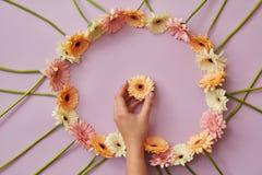 Ramen av gerberaen blommar på en rosa bakgrund med den kvinnliga handen Royaltyfri Foto