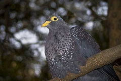 Rameron Pigeon Royalty Free Stock Photo