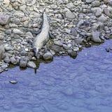 Ramganga flod och gharial, också bekant som det gavial och fisk-att äta krokodilen - Jim Corbett National Park, Indien arkivfoton
