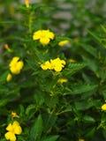 Ramgoat dashalong, gele els, of Turnera-ulmifolia Royalty-vrije Stock Fotografie
