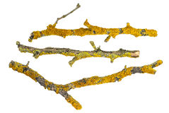 Rami asciutti degli alberi coperti di lichene isolato su fondo bianco Fotografia Stock