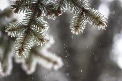 rami attillati coperti di neve Fotografia Stock