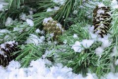 Rami attillati nella neve con le pigne Fotografie Stock
