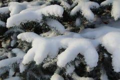 Rami attillati nella neve La Russia Immagine Stock Libera da Diritti